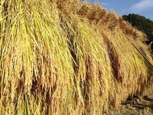 春夏秋冬のお米